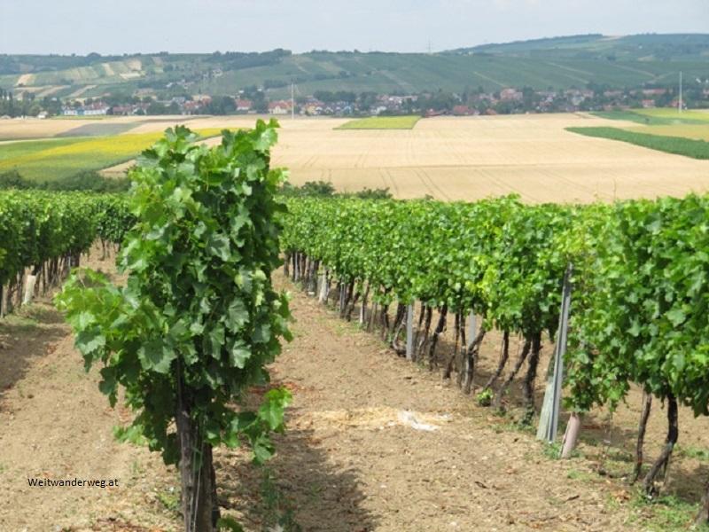 Weinberg südlich von Alberndorf im Weinviertel, Niederösterreich