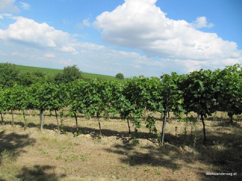 Weinberg bei Mailberg im Weinviertel, Niederösterreich