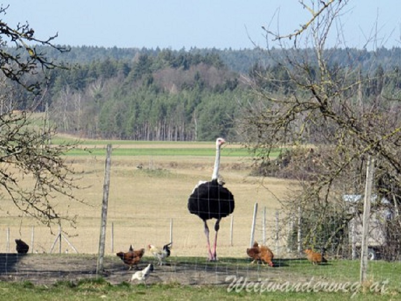 Ein Vogel Strauß im Weiler Rantenberg in der Wachau, Niederösterreich