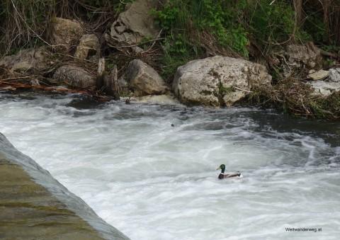 Fluß Pitten mit Ente