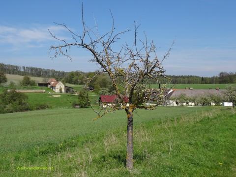 Baum in der Buckligen Welt