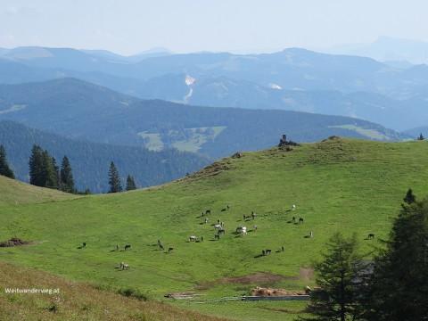 Lippizaner auf der Sommerweide in der Lippizanerheimat, Steiermark.
