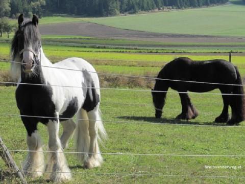 Noriker Pferde im Waldviertel