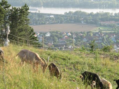 Ziegen auf dem Bisamberg in Niederösterreich