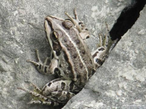 Frosch am Donauufer in Niederösterreich